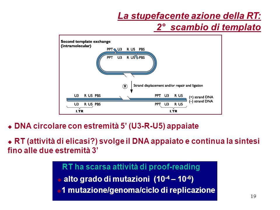 19 RT ha scarsa attività di proof-reading alto grado di mutazioni (10 -4 – 10 -6 ) 1 mutazione/genoma/ciclo di replicazione DNA circolare con estremit