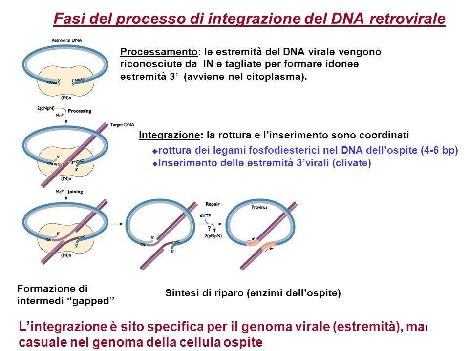 21 Processamento: le estremità del DNA virale vengono riconosciute da IN e tagliate per formare idonee estremità 3 (avviene nel citoplasma). Sintesi d