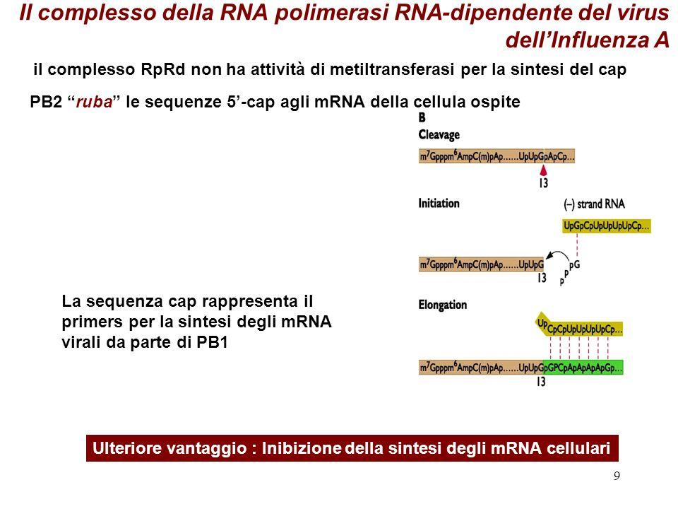 9 La sequenza cap rappresenta il primers per la sintesi degli mRNA virali da parte di PB1 Ulteriore vantaggio : Inibizione della sintesi degli mRNA ce