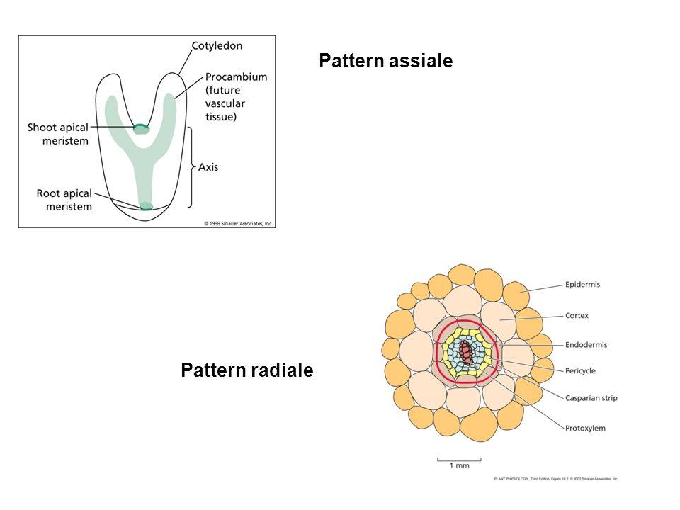 Pattern assiale Pattern radiale