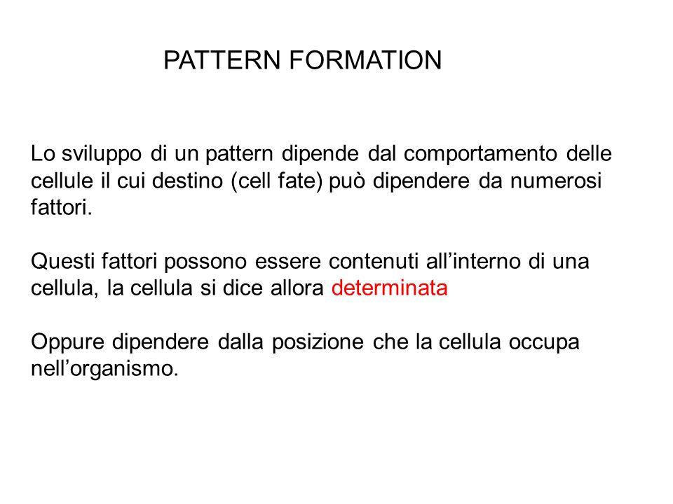 Lo sviluppo di un pattern dipende dal comportamento delle cellule il cui destino (cell fate) può dipendere da numerosi fattori. Questi fattori possono
