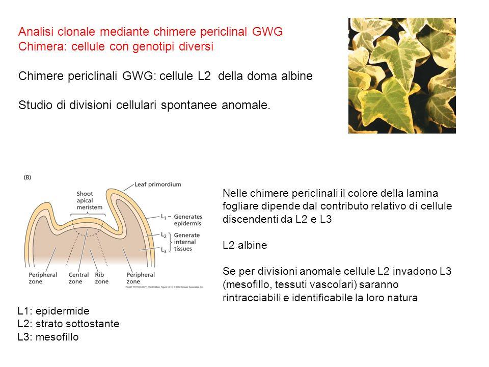 Analisi clonale mediante chimere periclinal GWG Chimera: cellule con genotipi diversi Chimere periclinali GWG: cellule L2 della doma albine Studio di