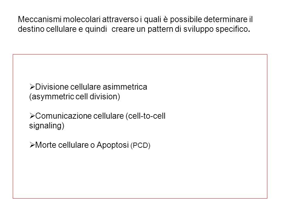 Meccanismi molecolari attraverso i quali è possibile determinare il destino cellulare e quindi creare un pattern di sviluppo specifico. Divisione cell