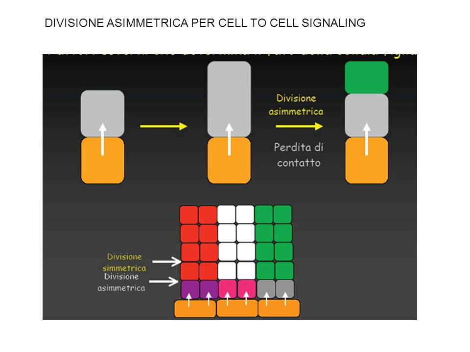 DIVISIONE ASIMMETRICA PER CELL TO CELL SIGNALING