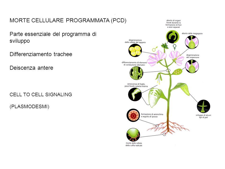 MORTE CELLULARE PROGRAMMATA (PCD) Parte essenziale del programma di sviluppo Differenziamento trachee Deiscenza antere CELL TO CELL SIGNALING (PLASMOD
