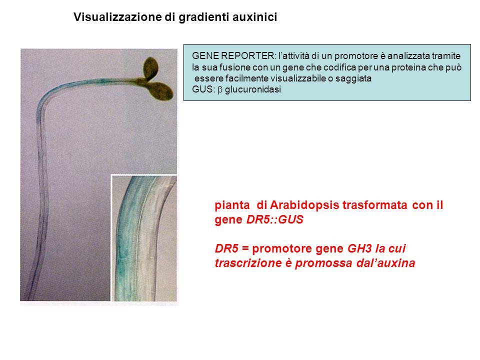 pianta di Arabidopsis trasformata con il gene DR5::GUS DR5 = promotore gene GH3 la cui trascrizione è promossa dalauxina Visualizzazione di gradienti