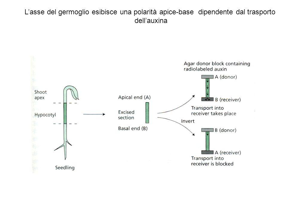 Lasse del germoglio esibisce una polarità apice-base dipendente dal trasporto dellauxina
