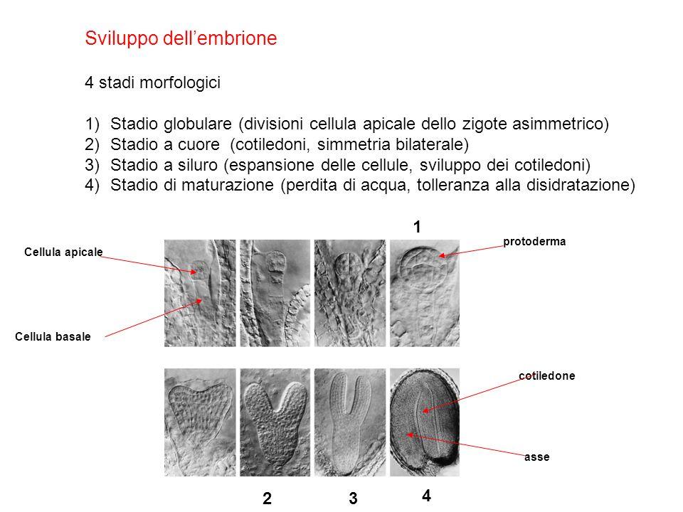 Sviluppo dellembrione 4 stadi morfologici 1)Stadio globulare (divisioni cellula apicale dello zigote asimmetrico) 2)Stadio a cuore (cotiledoni, simmet