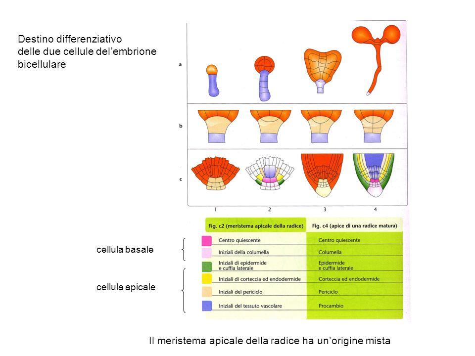 Destino differenziativo delle due cellule delembrione bicellulare cellula basale cellula apicale Il meristema apicale della radice ha unorigine mista