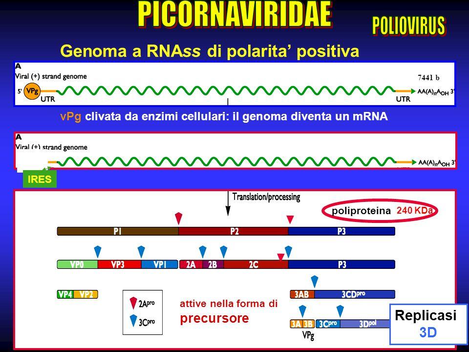 10 vPg clivata da enzimi cellulari: il genoma diventa un mRNA IRES Genoma a RNAss di polarita positiva 7441 b attive nella forma di precursore 240 KDa