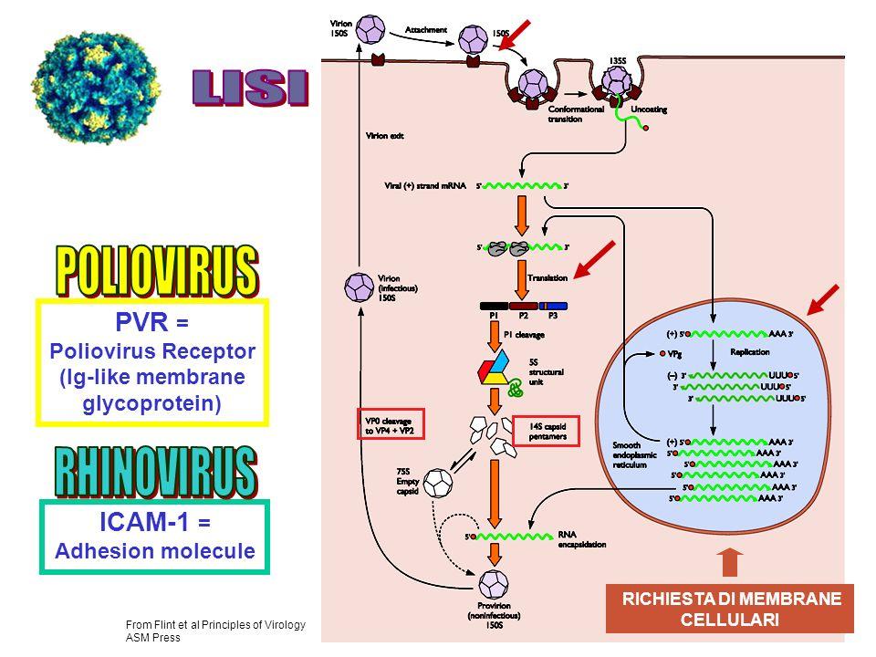 11 From Flint et al Principles of Virology ASM Press RICHIESTA DI MEMBRANE CELLULARI PVR = Poliovirus Receptor (Ig-like membrane glycoprotein) ICAM-1