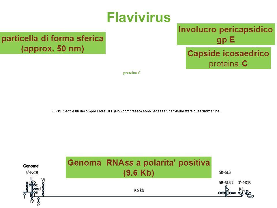 19 proteina C Flavivirus particella di forma sferica (approx. 50 nm) Capside icosaedrico proteina C Genoma RNAss a polarita positiva (9.6 Kb) Involucr