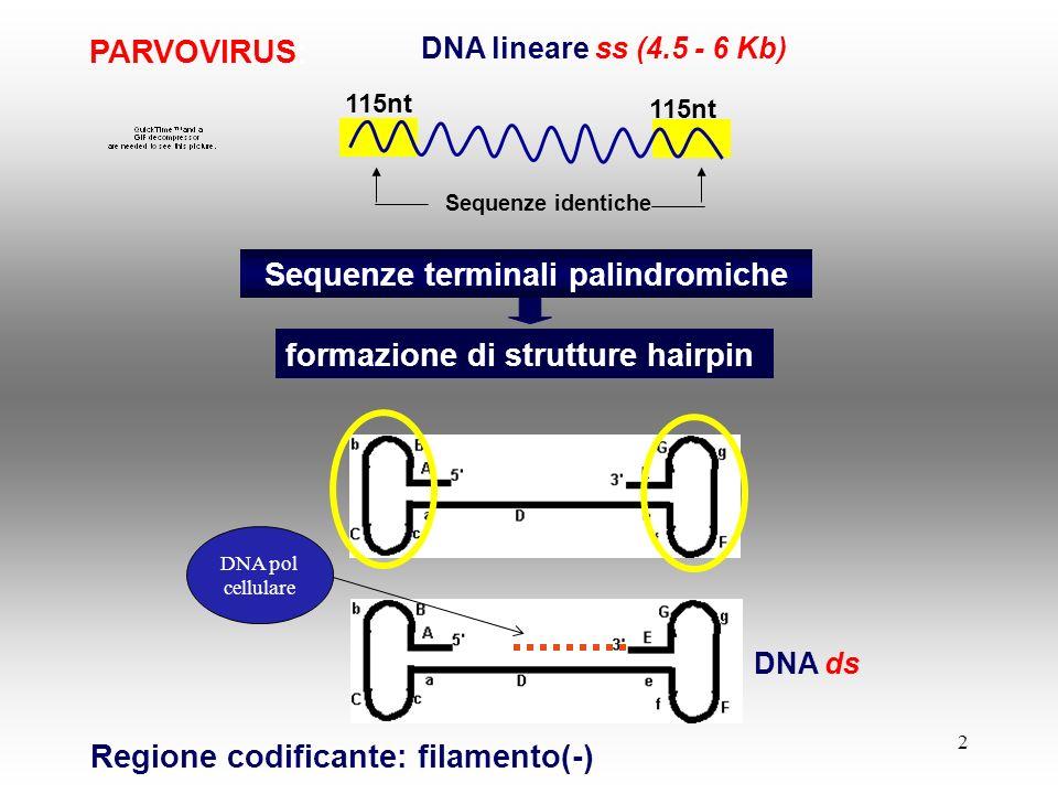 2 PARVOVIRUS: DNA lineare ss (4.5 - 6 Kb) Sequenze terminali palindromiche Sequenze identiche Regione codificante: filamento(-) 115nt DNA ds DNA pol c