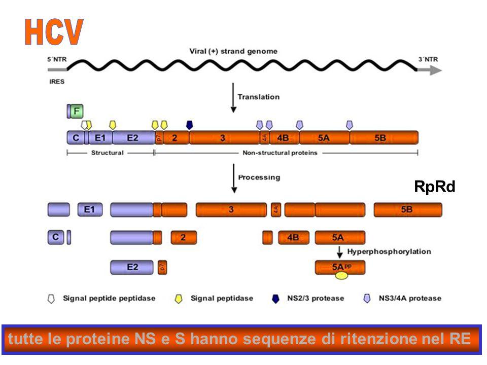 20 tutte le proteine NS e S hanno sequenze di ritenzione nel RE RpRd