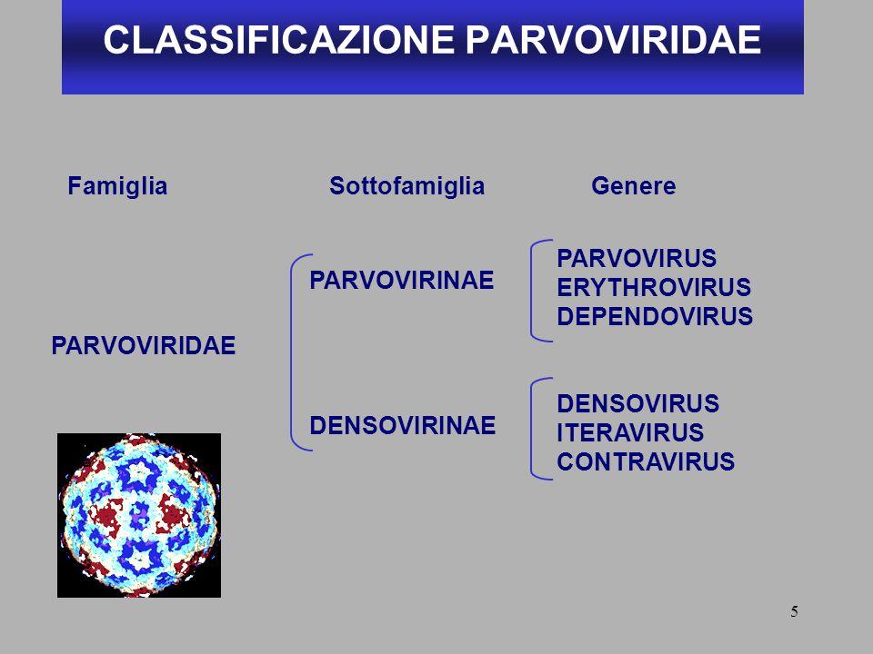 5 CLASSIFICAZIONE PARVOVIRIDAE PARVOVIRIDAE PARVOVIRINAE DENSOVIRINAE PARVOVIRUS ERYTHROVIRUS DEPENDOVIRUS DENSOVIRUS ITERAVIRUS CONTRAVIRUS FamigliaS