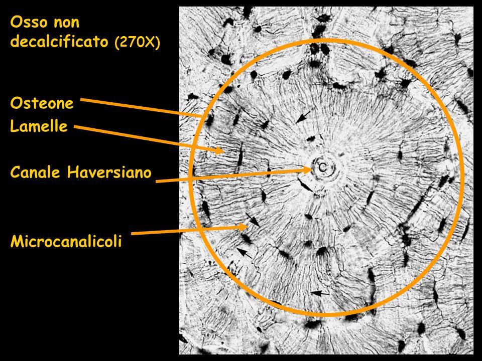 Osso non decalcificato (270X) Osteone Lamelle Canale Haversiano Microcanalicoli