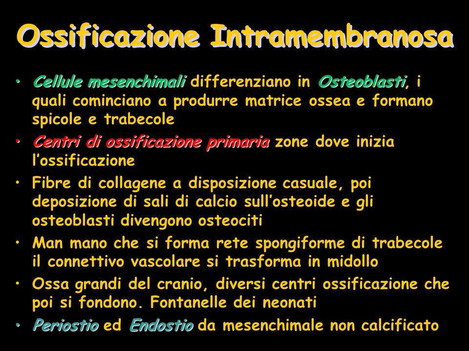 Ossificazione Intramembranosa Cellule mesenchimaliOsteoblastiCellule mesenchimali differenziano in Osteoblasti, i quali cominciano a produrre matrice