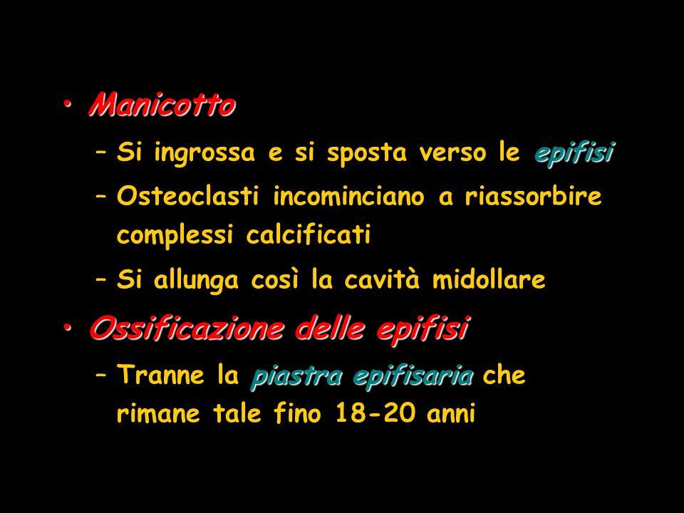 ManicottoManicotto epifisi –Si ingrossa e si sposta verso le epifisi –Osteoclasti incominciano a riassorbire complessi calcificati –Si allunga così la