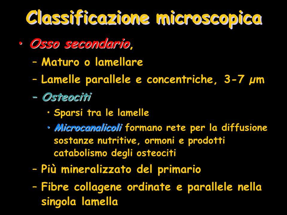 Classificazione microscopica Osso secondarioOsso secondario, –Maturo o lamellare –Lamelle parallele e concentriche, 3-7 µm –Osteociti Sparsi tra le la