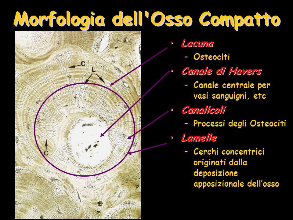 Cartilagine con condrociti Condrociti ipertrofici e calcificati Tessuto osseo Riassorbimento complessi calcificati cartilagine/osso