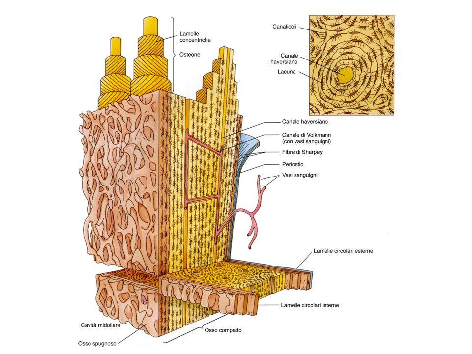 Rimodellamento delle Ossa Avviene durante tutta la vita Coinvolge osteoclasti e osteoblasti Modalità differenti –Osso Compatto Fattori sistemici, CT e PTH –Osso Spugnoso Fattori secreti da cellule del midollo, IL1, TNF, TGF- Osteoblasti Osteoclasti