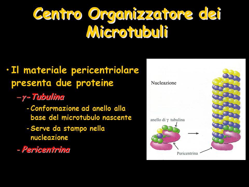 Centro Organizzatore dei Microtubuli Il materiale pericentriolare presenta due proteine -Tubulina -Tubulina -Conformazione ad anello alla base del mic