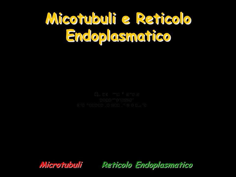 Micotubuli e Reticolo Endoplasmatico MicrotubuliReticolo Endoplasmatico Microtubuli Reticolo Endoplasmatico