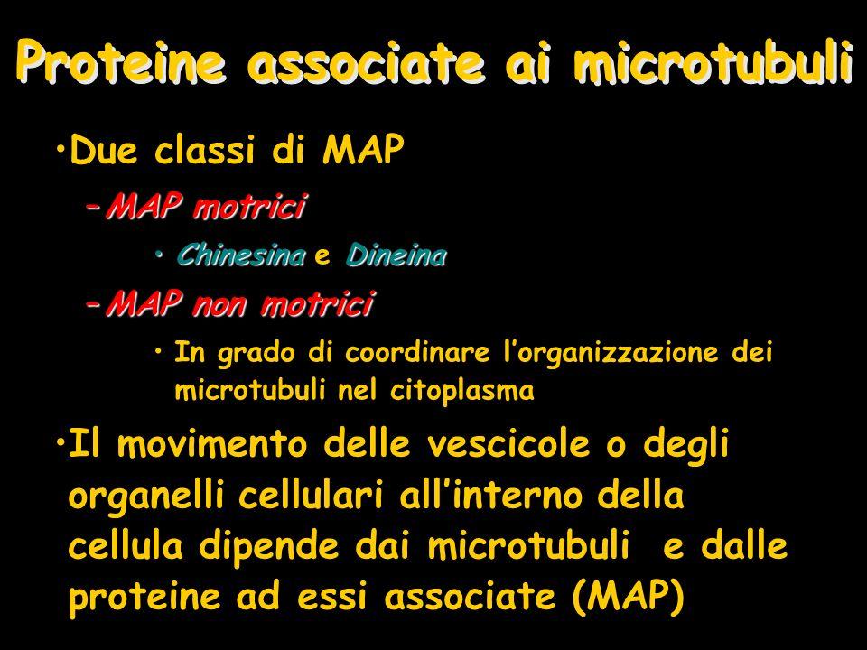 Proteine associate ai microtubuli Due classi di MAP –MAP motrici ChinesinaDineinaChinesina e Dineina –MAP non motrici In grado di coordinare lorganizz