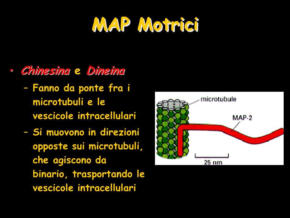 MAP Motrici ChinesinaDineinaChinesina e Dineina –Fanno da ponte fra i microtubuli e le vescicole intracellulari –Si muovono in direzioni opposte sui m