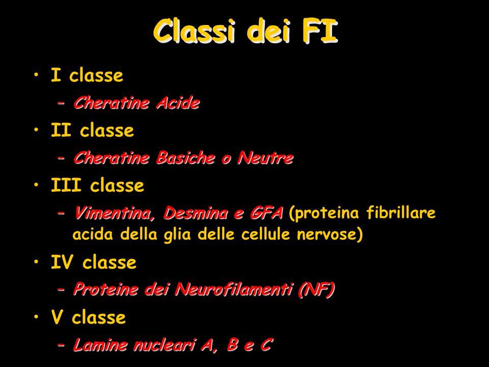 Classi dei FI I classe –Cheratine Acide II classe –Cheratine Basiche o Neutre III classe –Vimentina, Desmina e GFA –Vimentina, Desmina e GFA (proteina