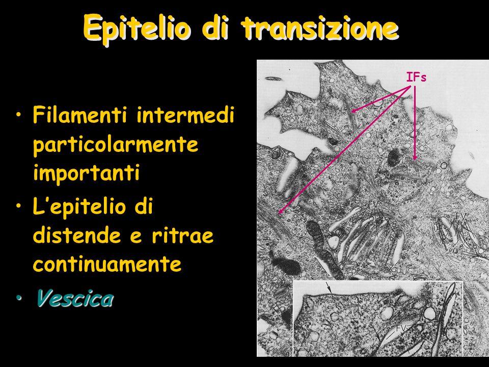 Epitelio di transizione Filamenti intermedi particolarmente importanti Lepitelio di distende e ritrae continuamente VescicaVescica IFs