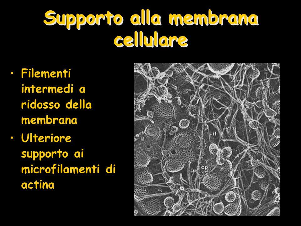 Supporto alla membrana cellulare Filementi intermedi a ridosso della membrana Ulteriore supporto ai microfilamenti di actina