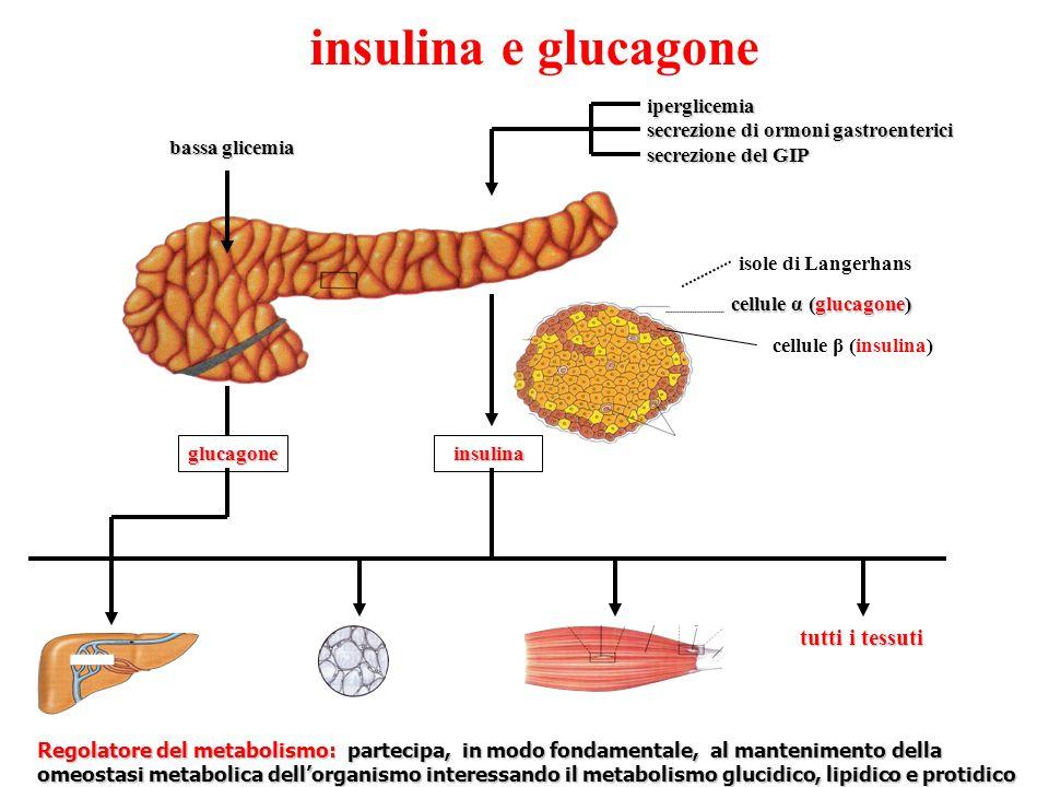 insulina e glucagone iperglicemia iperglicemia secrezione di ormoni gastroenterici secrezione di ormoni gastroenterici secrezione del GIP secrezione del GIP isole di Langerhans cellule α (glucagone) cellule β (insulina) insulina insulina bassa glicemia glucagone Regolatore del metabolismo: partecipa, in modo fondamentale, al mantenimento della omeostasi metabolica dellorganismo interessando il metabolismo glucidico, lipidico e protidico tutti i tessuti