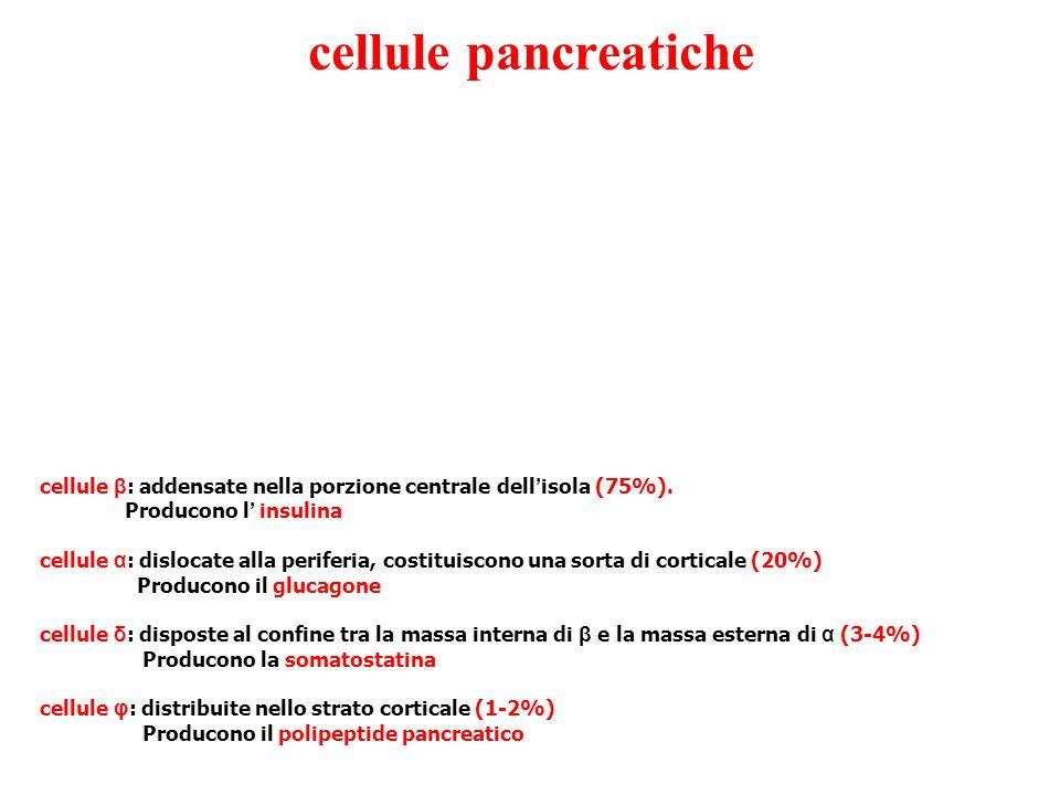 cellule pancreatiche cellule β : addensate nella porzione centrale dell isola (75%).