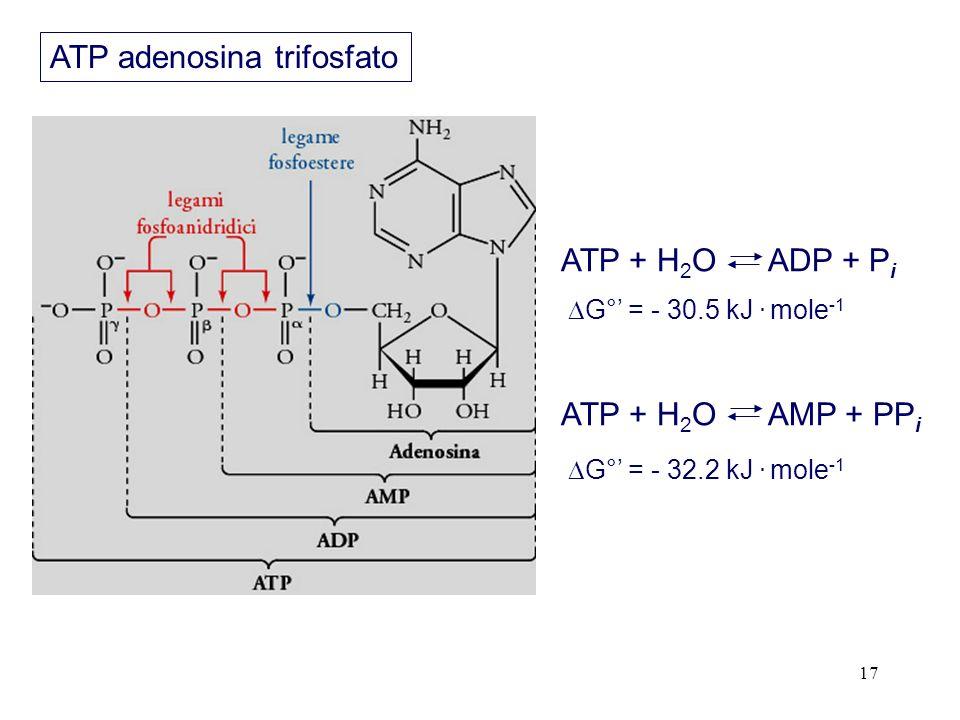 17 ATP + H 2 O ADP + P i ATP + H 2 O AMP + PP i ATP adenosina trifosfato G° = - 30.5 kJ.