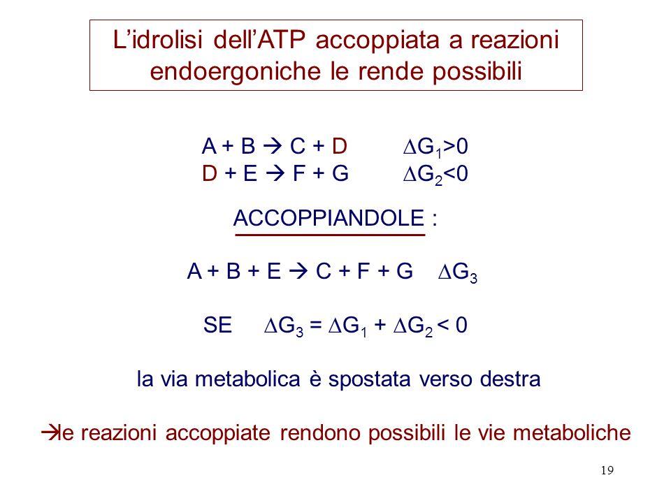 19 A + B C + D G 1 >0 D + E F + G G 2 <0 ACCOPPIANDOLE : A + B + E C + F + G G 3 SE G 3 = G 1 + G 2 < 0 la via metabolica è spostata verso destra le reazioni accoppiate rendono possibili le vie metaboliche Lidrolisi dellATP accoppiata a reazioni endoergoniche le rende possibili