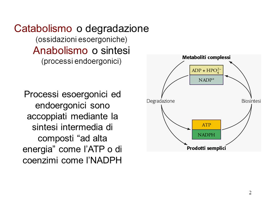 2 Catabolismo o degradazione (ossidazioni esoergoniche) Anabolismo o sintesi (processi endoergonici) Processi esoergonici ed endoergonici sono accoppi
