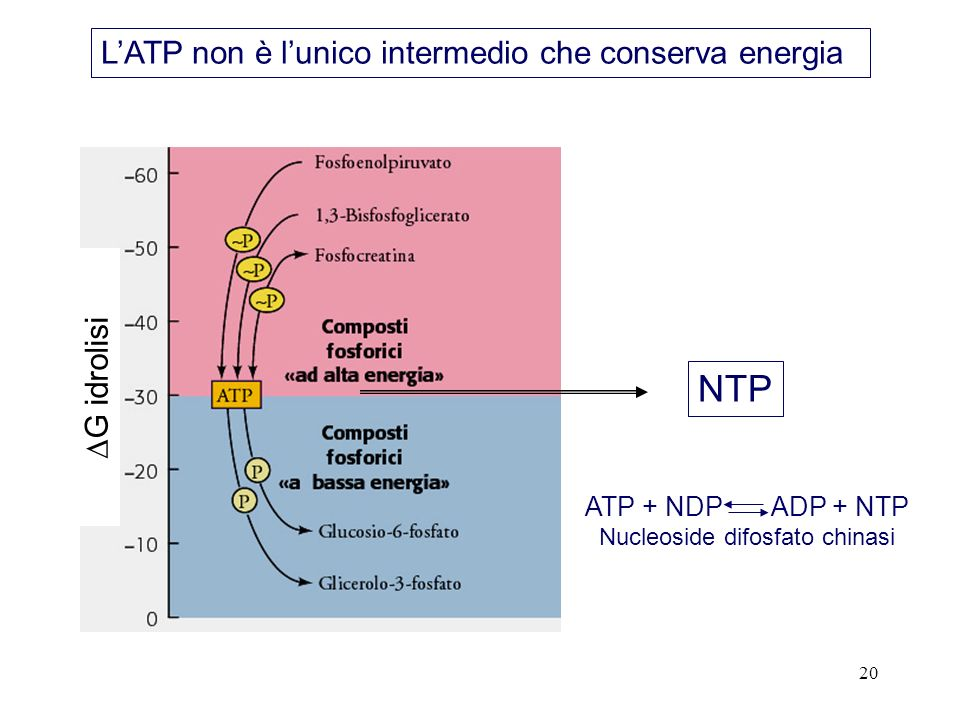 20 NTP ATP + NDP ADP + NTP Nucleoside difosfato chinasi LATP non è lunico intermedio che conserva energia G idrolisi