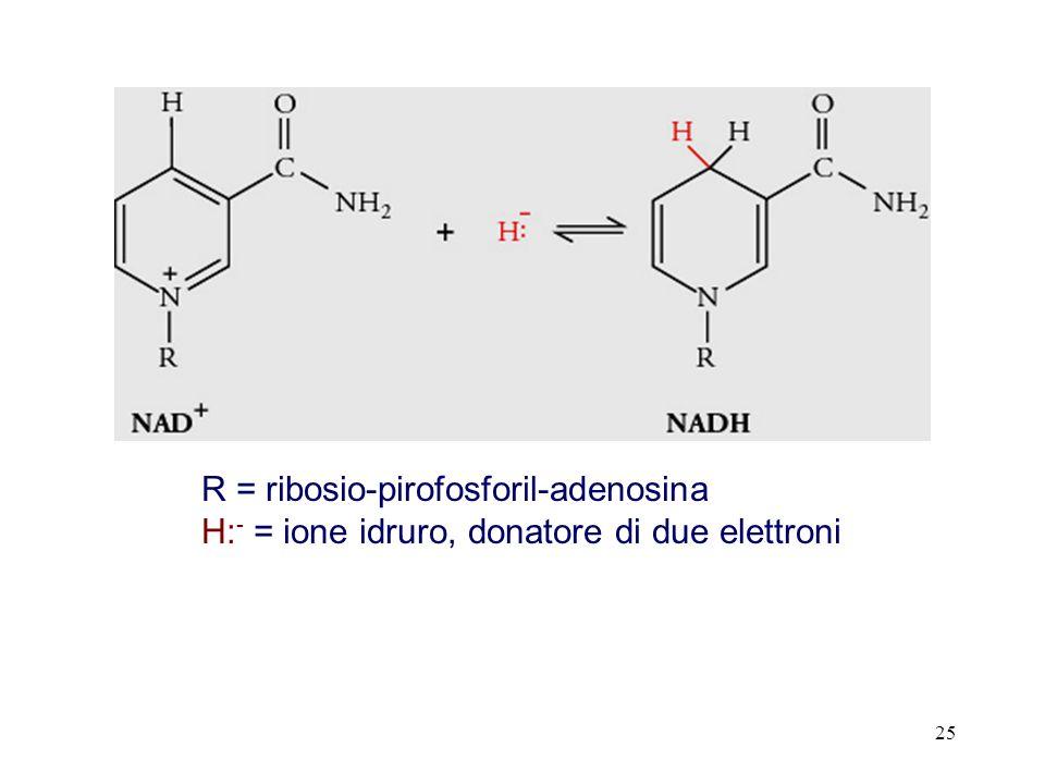 25 R = ribosio-pirofosforil-adenosina H: - = ione idruro, donatore di due elettroni