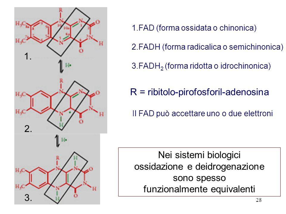 28 1.FAD (forma ossidata o chinonica) 2.FADH (forma radicalica o semichinonica) 3.FADH 2 (forma ridotta o idrochinonica) 1. 2. 3. R = ribitolo-pirofos