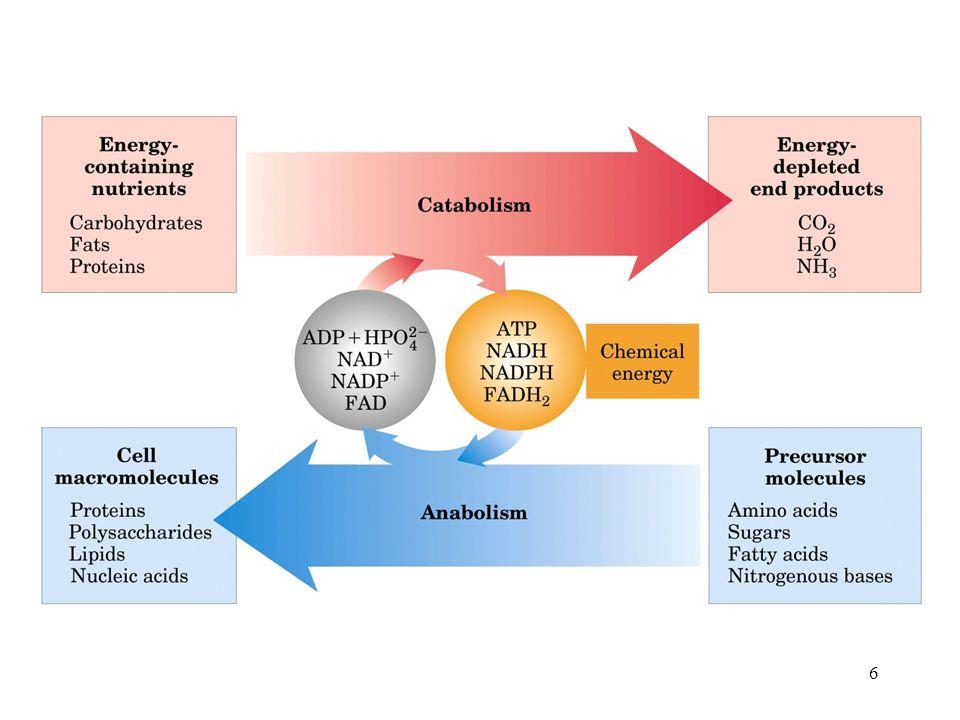 7 Le vie del metabolismo degradativo di carboidrati, proteine e lipidi convergono verso la formazione di un numero limitato di intermedi comuni che vengono poi utilizzati in una via ossidativa centrale.