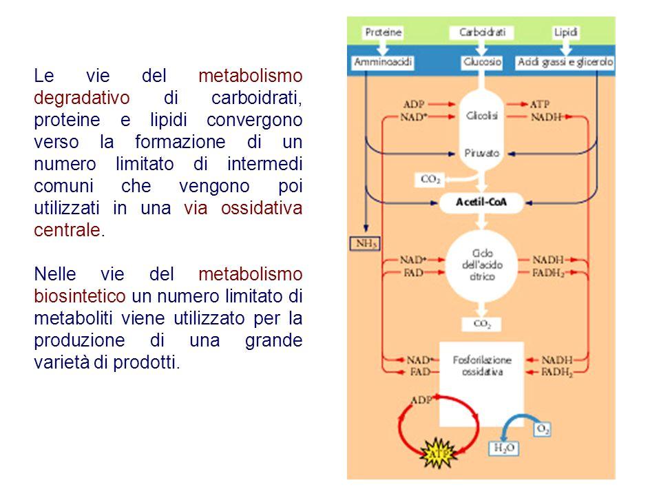 7 Le vie del metabolismo degradativo di carboidrati, proteine e lipidi convergono verso la formazione di un numero limitato di intermedi comuni che ve