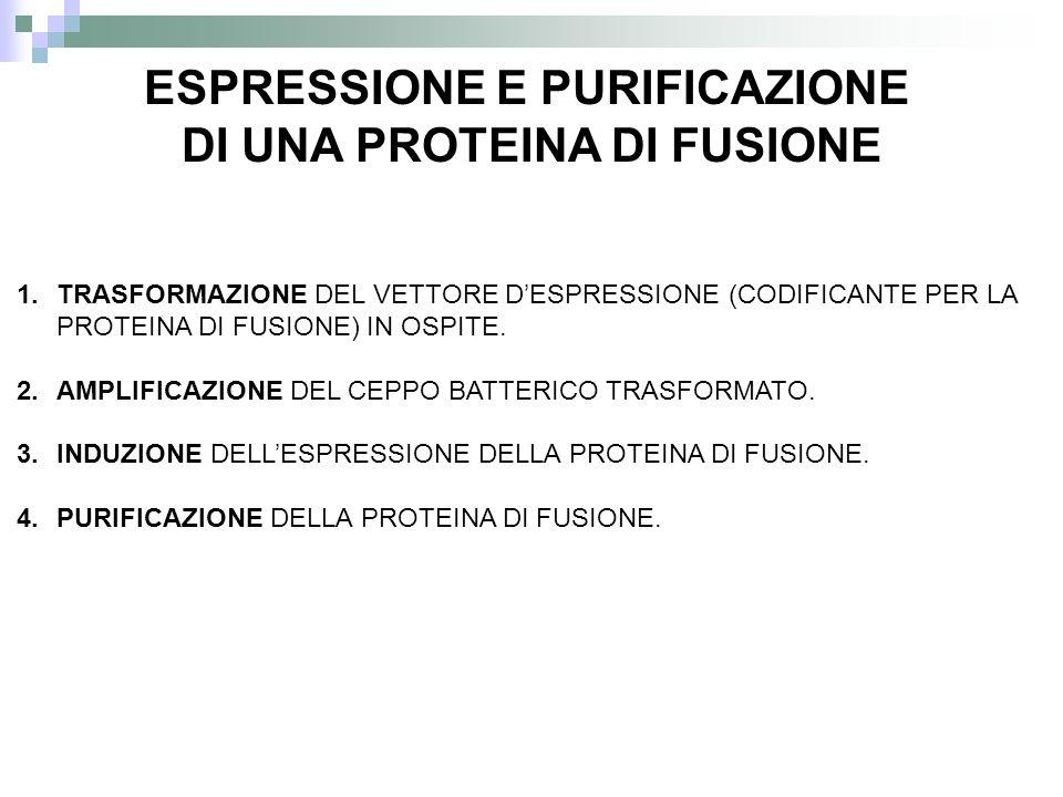 1.TRASFORMAZIONE DEL VETTORE DESPRESSIONE (CODIFICANTE PER LA PROTEINA DI FUSIONE) IN OSPITE. 2.AMPLIFICAZIONE DEL CEPPO BATTERICO TRASFORMATO. 3.INDU