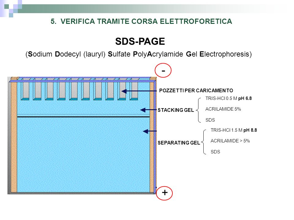 SDS-PAGE (Sodium Dodecyl (lauryl) Sulfate PolyAcrylamide Gel Electrophoresis) POZZETTI PER CARICAMENTO STACKING GEL SEPARATING GEL 5. VERIFICA TRAMITE