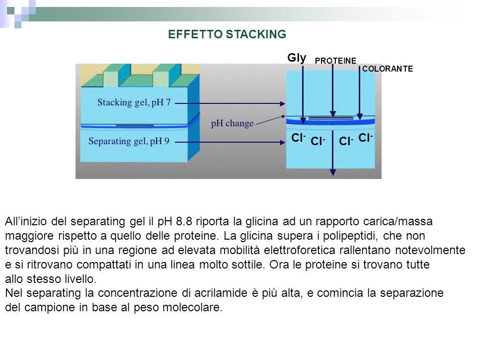 EFFETTO STACKING Allinizio del separating gel il pH 8.8 riporta la glicina ad un rapporto carica/massa maggiore rispetto a quello delle proteine. La g
