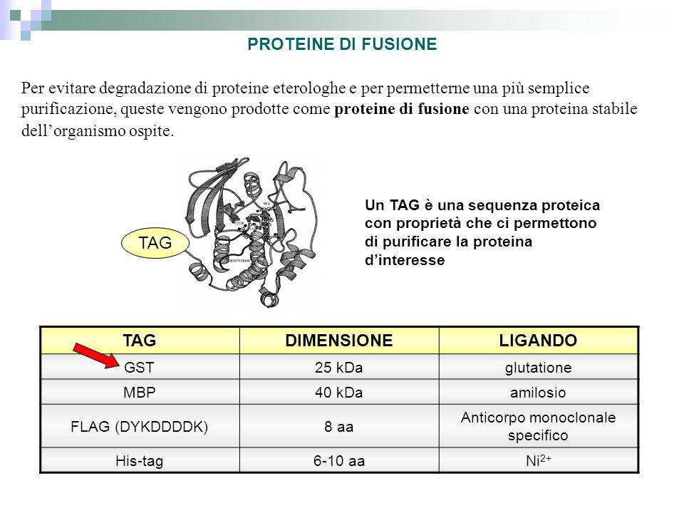 Per evitare degradazione di proteine eterologhe e per permetterne una più semplice purificazione, queste vengono prodotte come proteine di fusione con