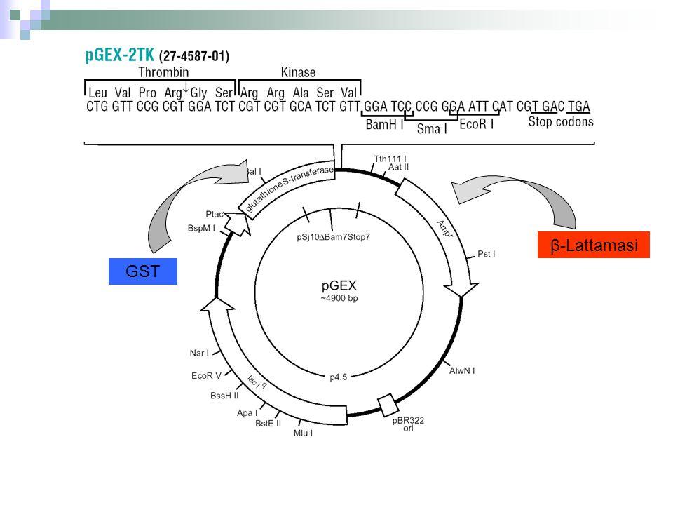 LISI BATTERICA ED ESTRAZIONE DELLA COMPONENTE PROTEICA 10 4000 rpm supernatante Pellet (batteri) 1.