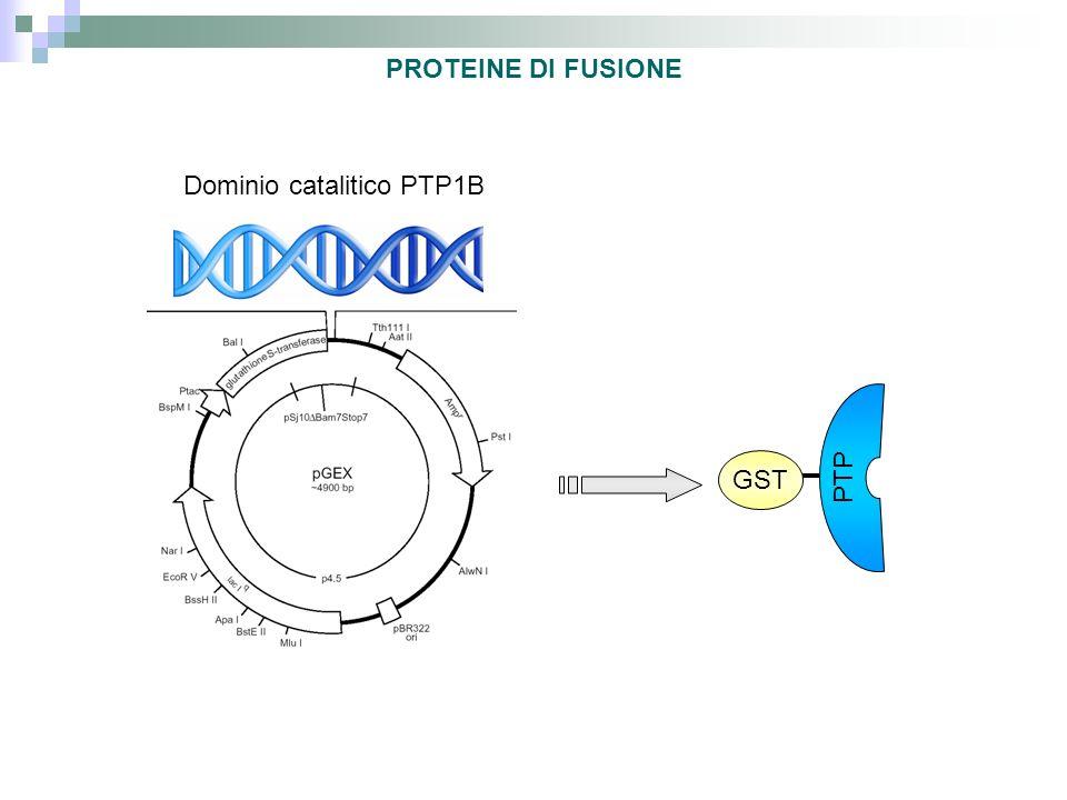 NELLA PRODUZIONE DI PROTEINE ETEROLOGHE IN BATTERI VENGONO UTILIZZATI SPESSO PROMOTORI FORTI E REGOLABILI UNA PRODUZIONE CONTINUA DELLA PROTEINA PROVOCA: -inibizione funzioni cellula -perdita energia -perdita plasmide Forti – Alta affinità per lRNA polimerasi – Legame forte – trascritto ad alta frequenza – Legame debole- RNA Pol si stacca, no trasc.
