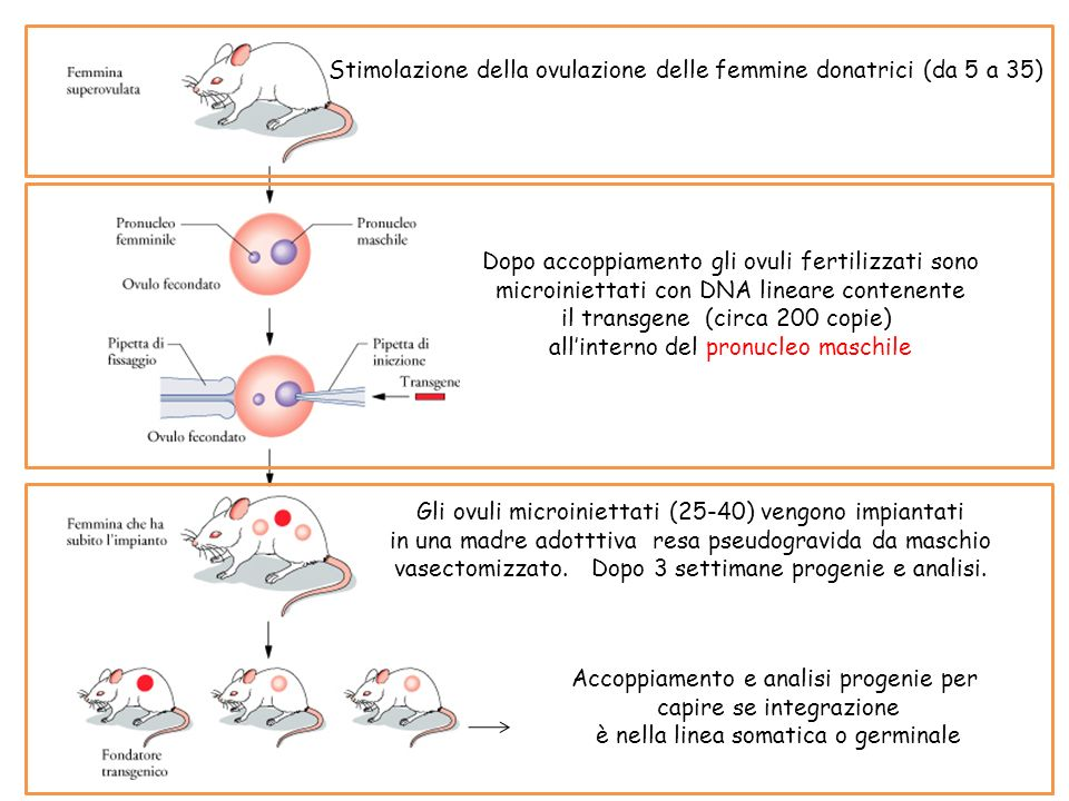 Stimolazione della ovulazione delle femmine donatrici (da 5 a 35) Dopo accoppiamento gli ovuli fertilizzati sono microiniettati con DNA lineare conten