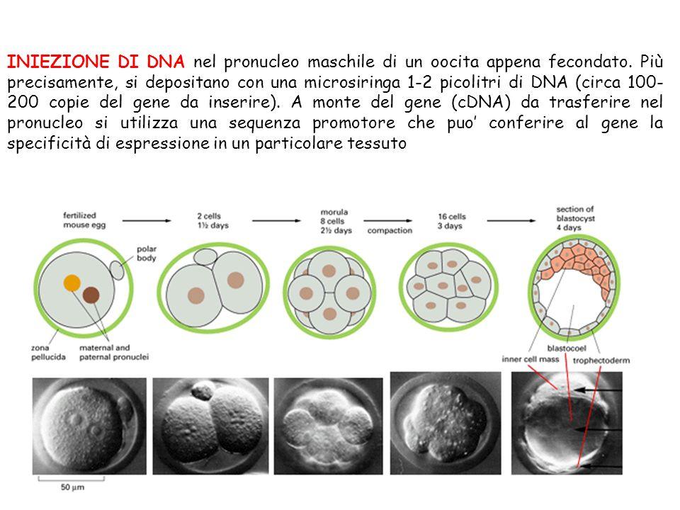 INIEZIONE DI DNA nel pronucleo maschile di un oocita appena fecondato. Più precisamente, si depositano con una microsiringa 1-2 picolitri di DNA (circ